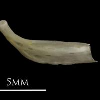 European eel epihyal medial view