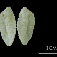Atlantic cod otolith(s) view 1