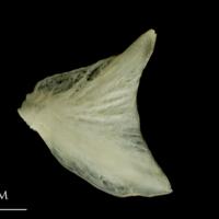 Haddock opercular lateral view