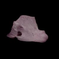 Wels catfish quadrate medial view