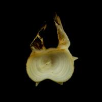 Common carp precaudal vertebra anterior view