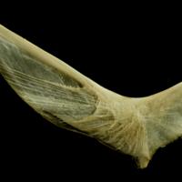 European hake cleithrum lateral view