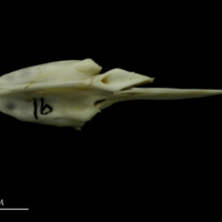 Mediterranean moray vomer dorsal view