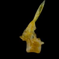 Grey gurnard precaudal vertebra lateral view