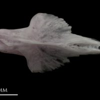 Parrot fish vomer dorsal view