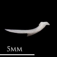 European eel posttemporal medial view