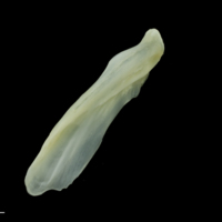 European seabass supracleithrum lateral view
