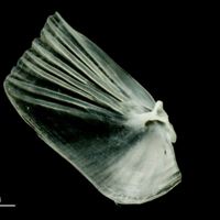European pilchard opercular medial view
