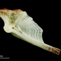 Freshwater bream hyomandibular medial view