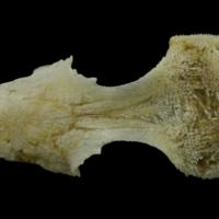 Red gurnard parasphenoid basioccipital complex dorsal view