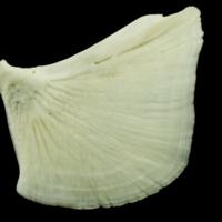 Common carp opercular lateral view
