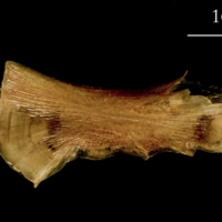 Catfish ceratohyal medial view