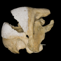 Parrot fish jaw lateral view