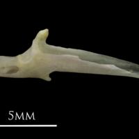 European eel articular medial view