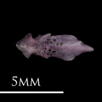 Dragonet for assessment ventral view