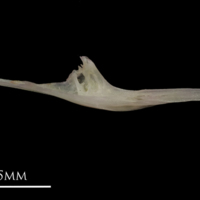 European eel for assessment medial view