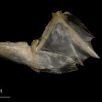 White grouper opercular subopercular complex lateral view
