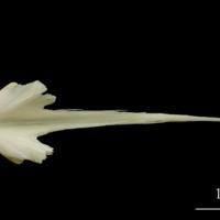 Haddock vomer dorsal view