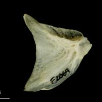 Haddock opercular medial view