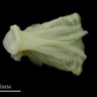 Bullrout basioccipital detail view