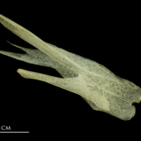 Atlantic mackerel posttemporal medial view