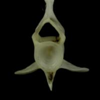 Mediterranean moray caudal vertebra anterior view