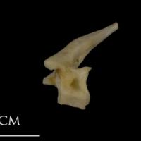 Shore rockling precaudal vertebra lateral view