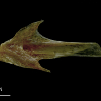 Spanish mackerel articular medial view