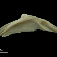 Dragonet preopercular lateral view