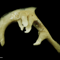 Chub pharyngeal dorsal view