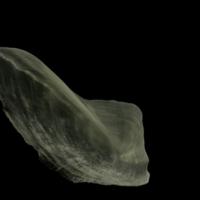 Burbot subopercular medial view