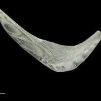 Roach preopercular medial view