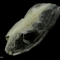 Common pandora interopercular lateral view