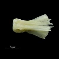 European seabass basioccipital ventral view