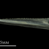 European anchovy dentary lateral view