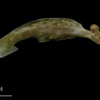 Spanish mackerel maxilla medial view
