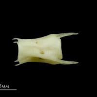 Scad caudal vertebra lateral view