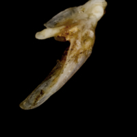 Sea scorpion posttemporal lateral view