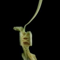 John dory caudal vertebra lateral view
