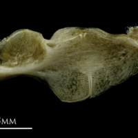 Common pandora ceratohyal epihyal complex lateral view