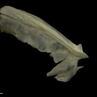 Zander opercular lateral view