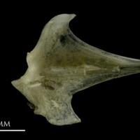 Common pandora articular medial view
