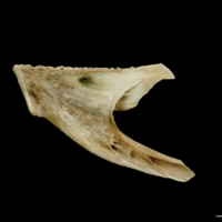 Turbot dentary medial view
